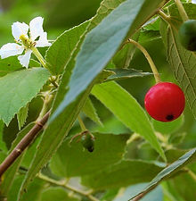 Panama Berry (3).JPG