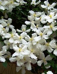 clematis-montana-alba-xxx.jpg