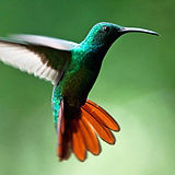 Green Brasted Mango Humming Bird in McAllen