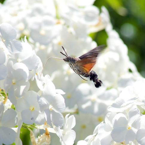 Kolibri vlinder in De Beetse