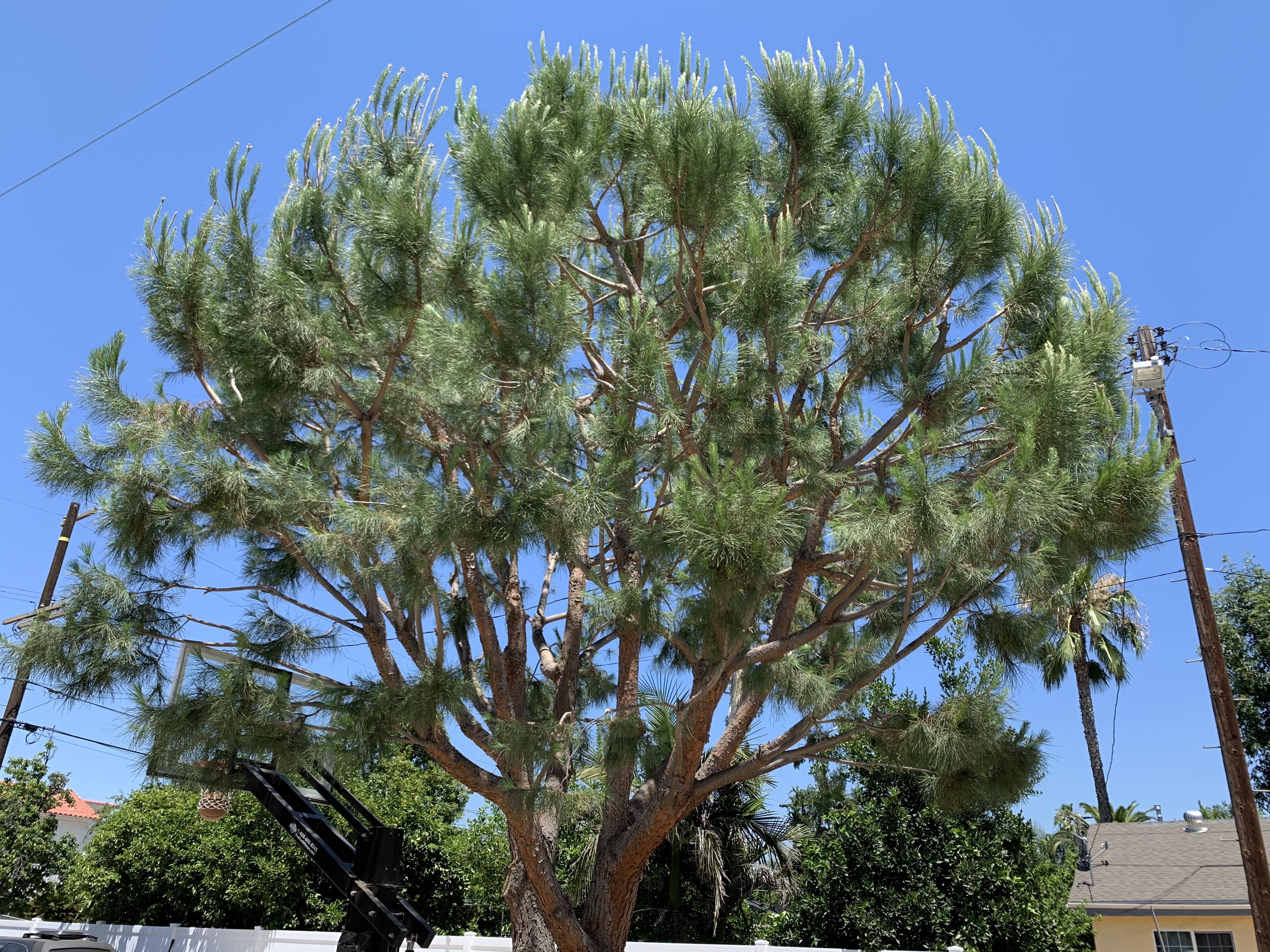 Pruned Pine Tree