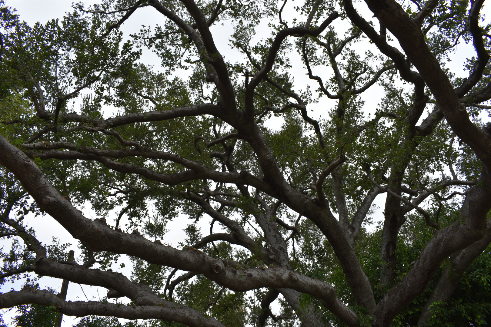 Oak Tree Pruning