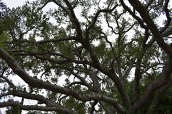 Oak Tree Pruning