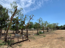 Pepper Trees Trimmed