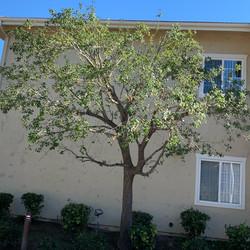 After Oak Tree Pruned