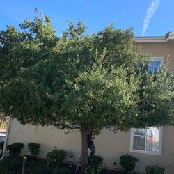 Before Oak Tree