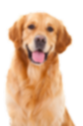 Golden-Retriever-PNG-Pic.png