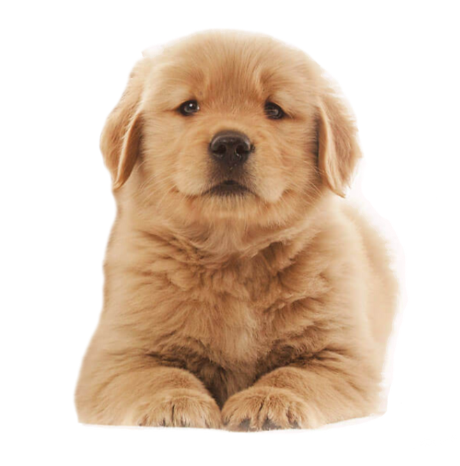 golden%20cachorro_edited.png