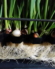Healthy, white roots on tulips
