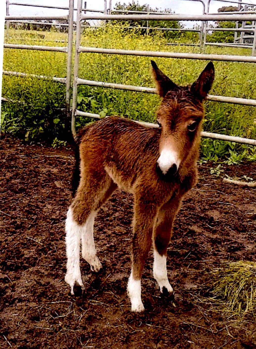 Mule foal Western Downs Arizona