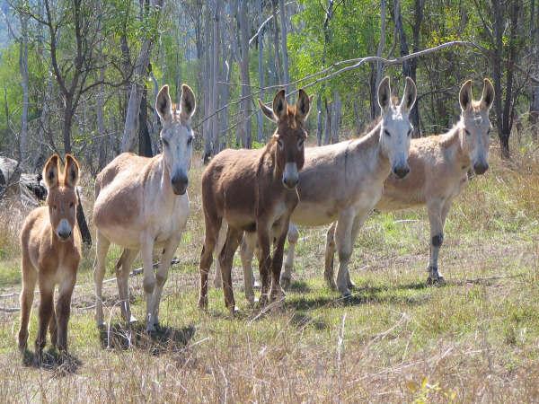 Wild Standard Donkeys Queensland