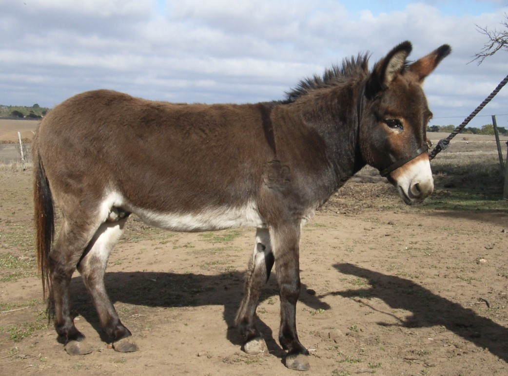 Crackerjack - Small donkey jack