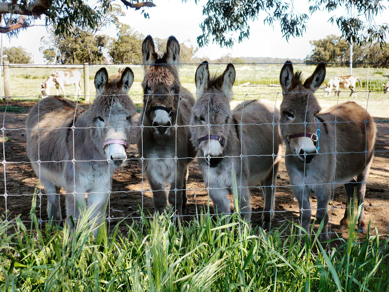 Lockyear Donkeys.