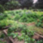 My veggie garden is looking so green and