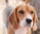 Year old Female Beagle