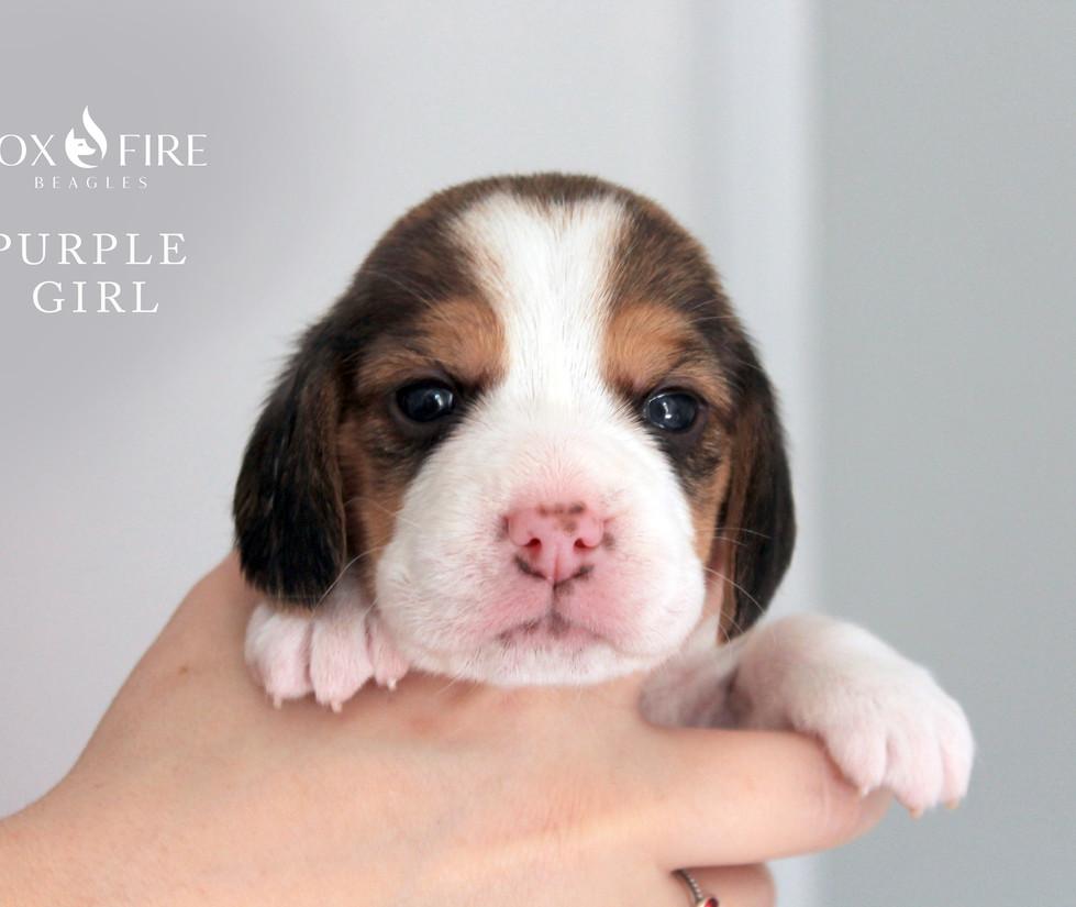 3 week old Female Beagle Puppy