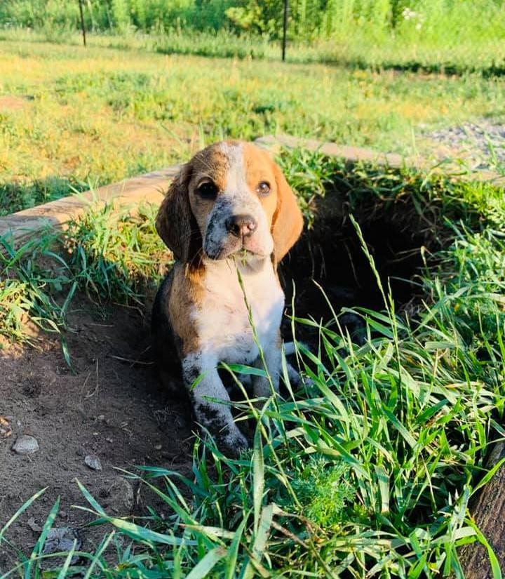 Dirty Beagle Puppy