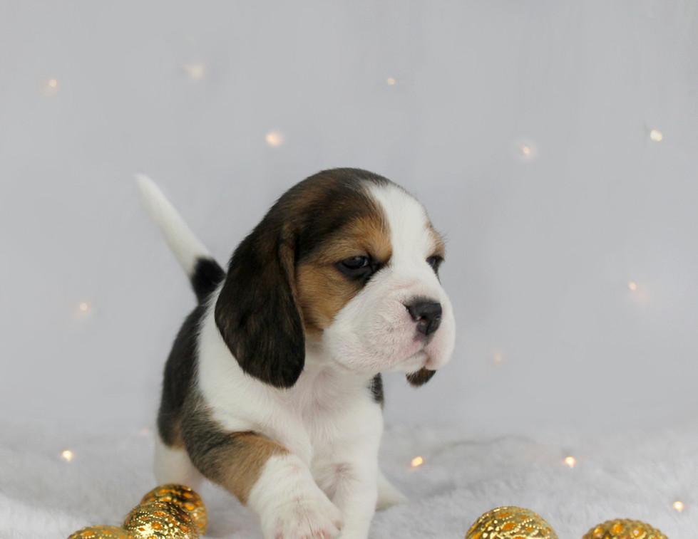 Beagle Strut