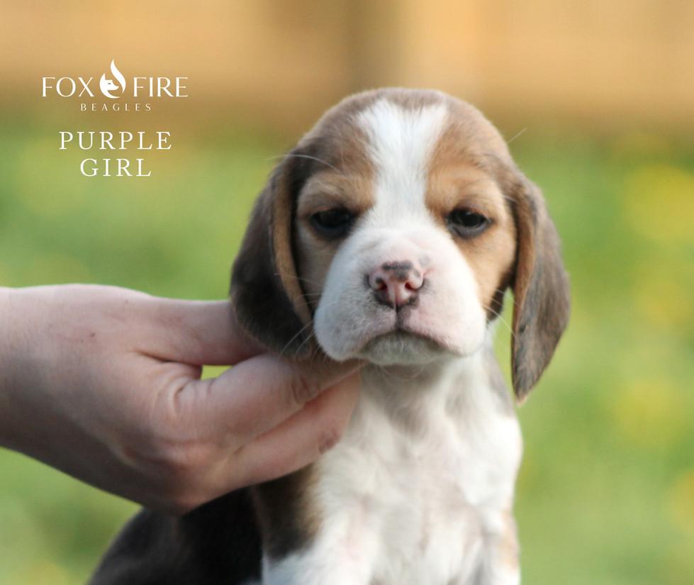 5 week old Female Beagle Puppy