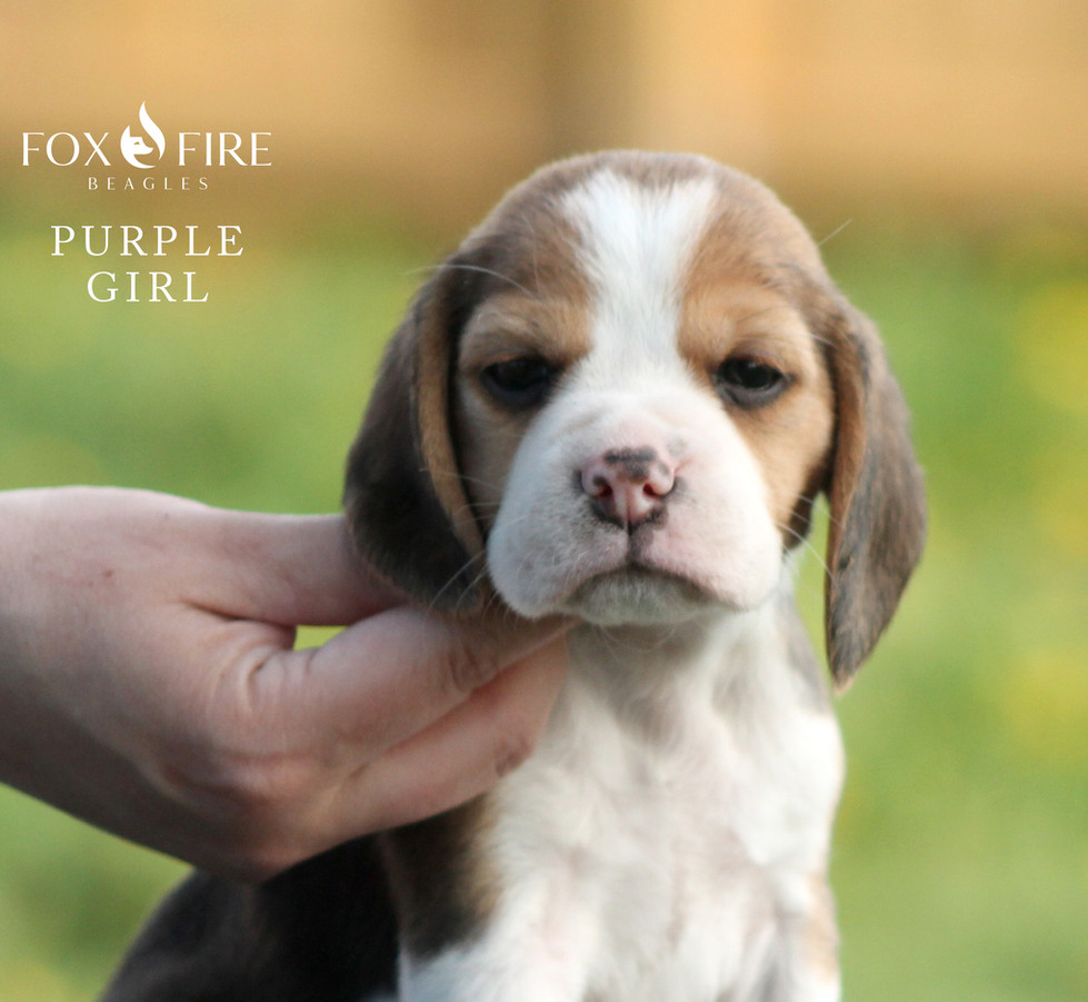 5 week old Female Beagle Puppy