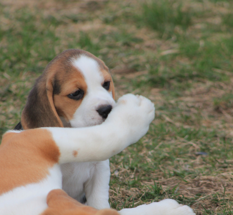 Beagle Puppy with Dad