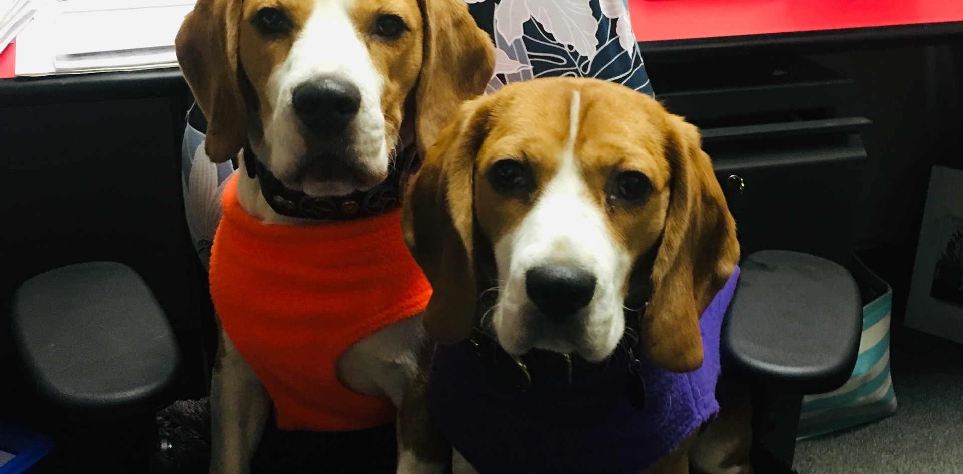 Beagles at the office