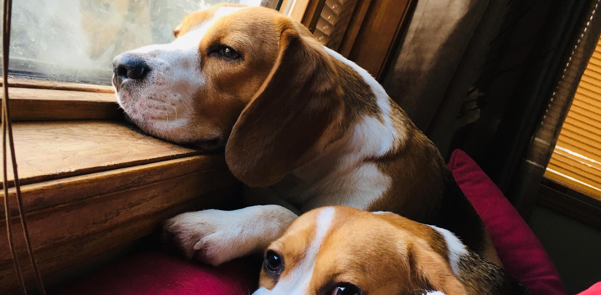 beagle naps