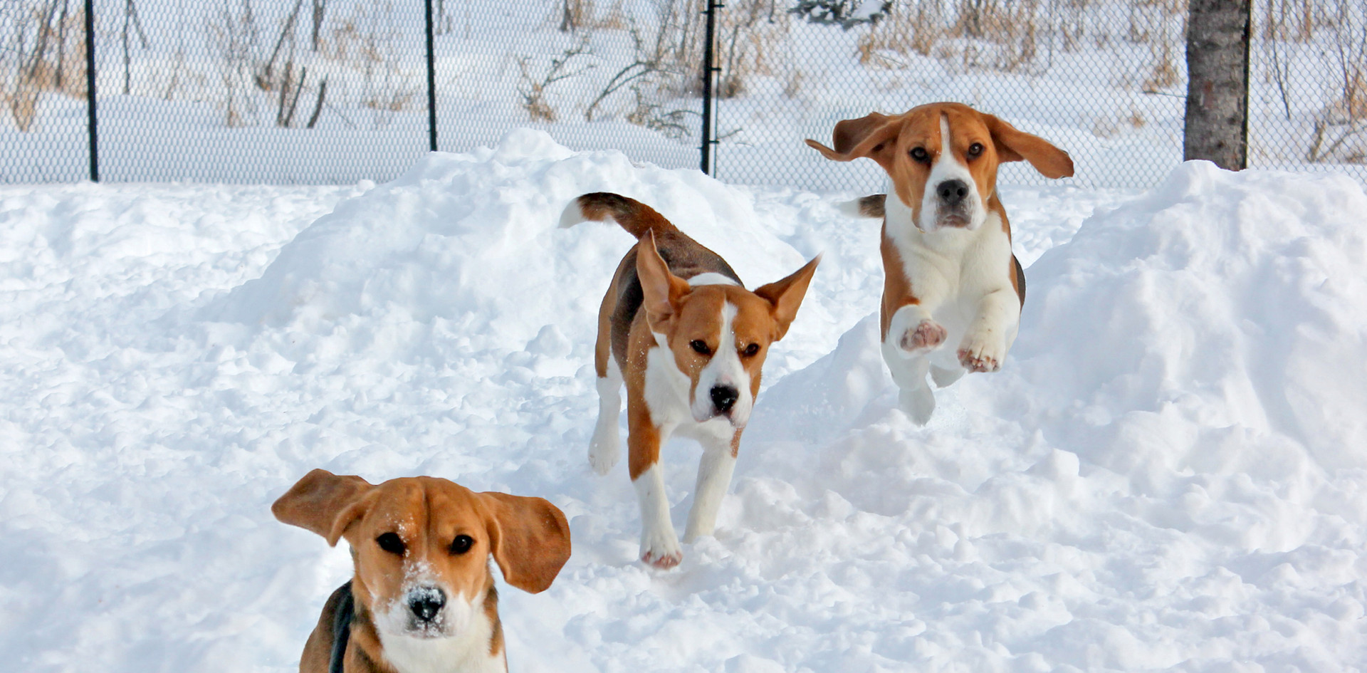 three beagles running in snow