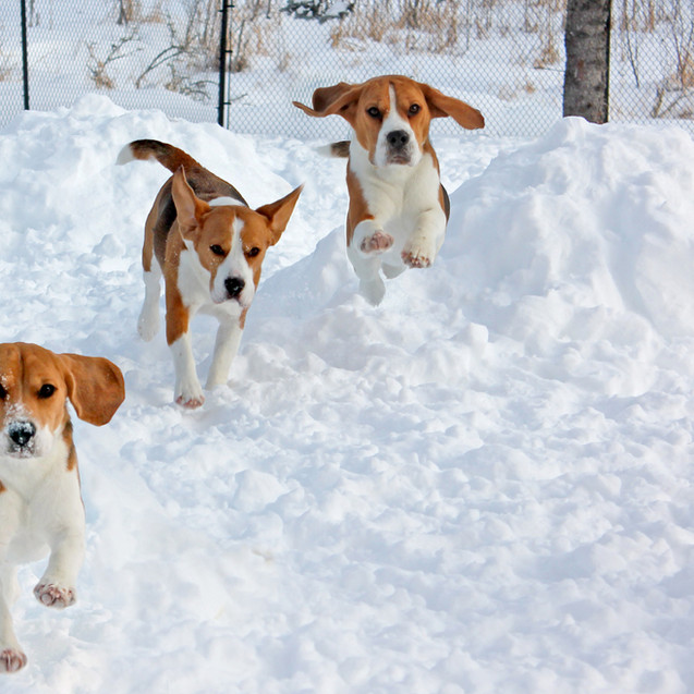3 Beagles in the Snow