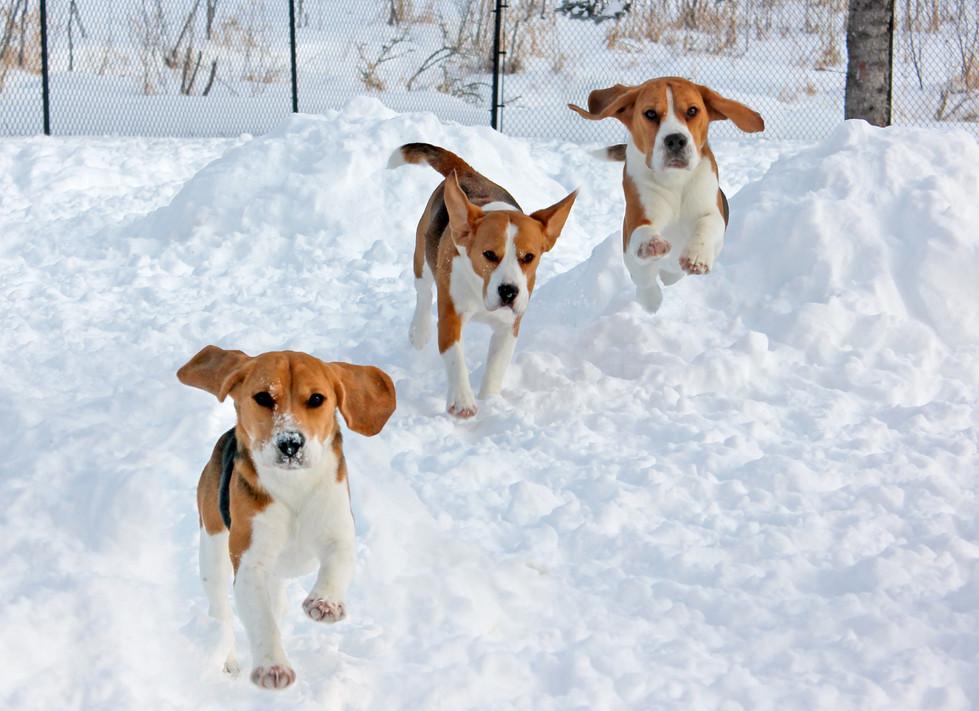 three beagles running in snow