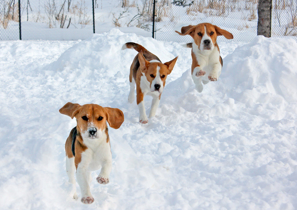 Male Beagle Catcher and others