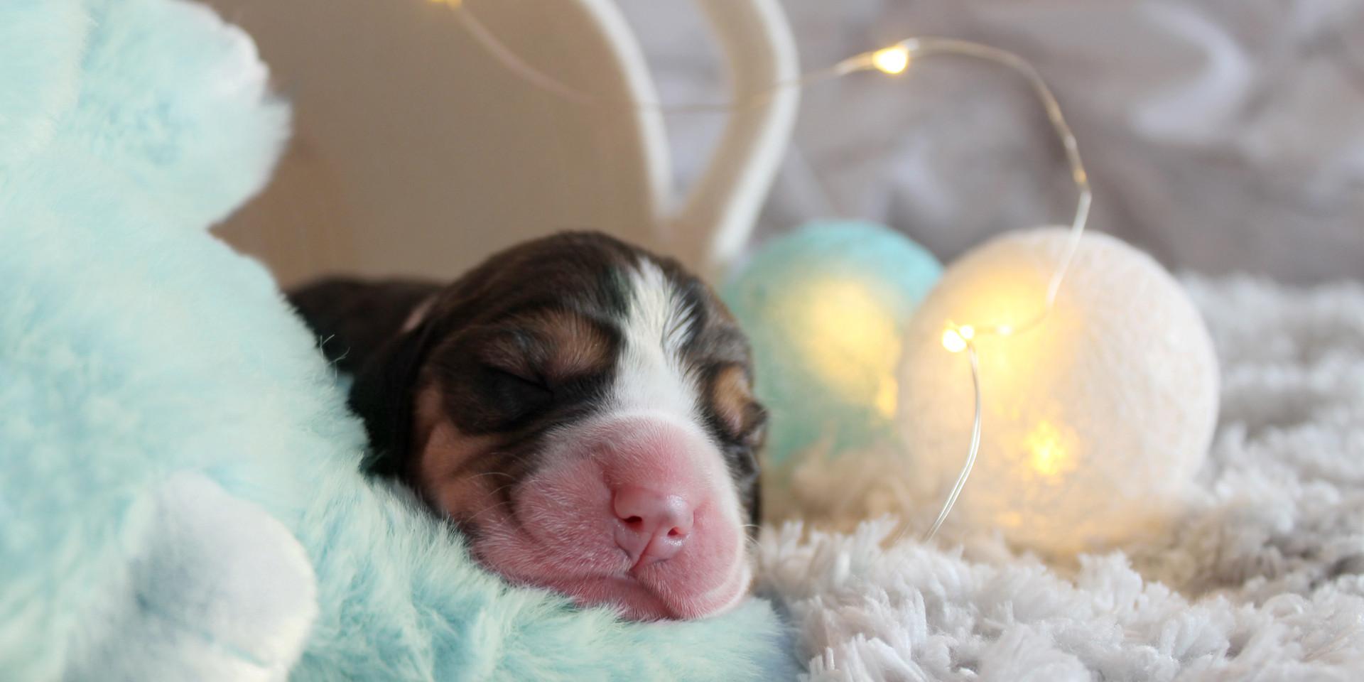 Neonatal Beagle Puppies