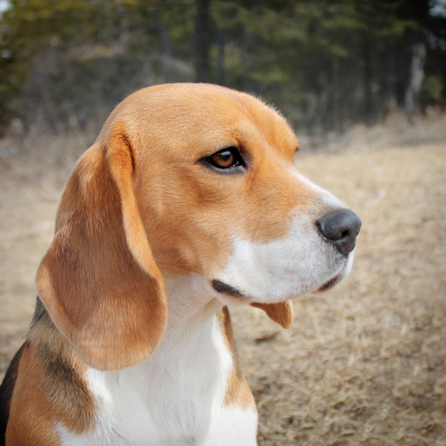 Young Female Beagle