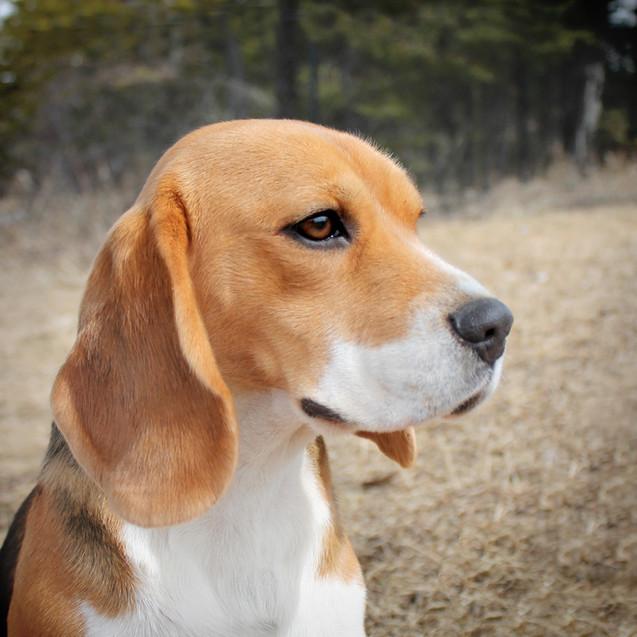 Young Female Beagle