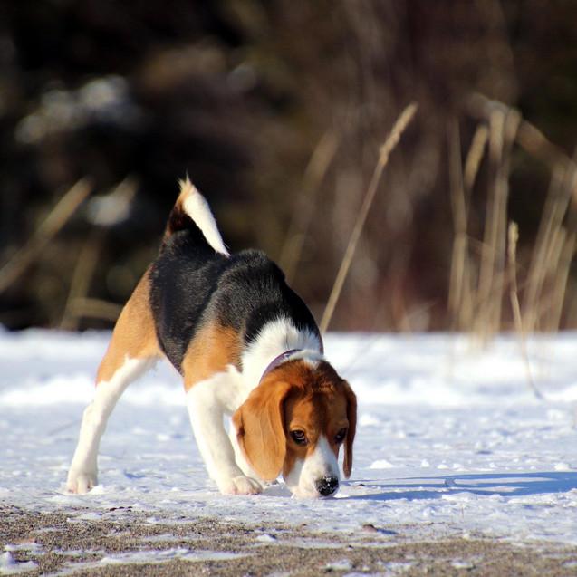 Female Beagle Love In Snow