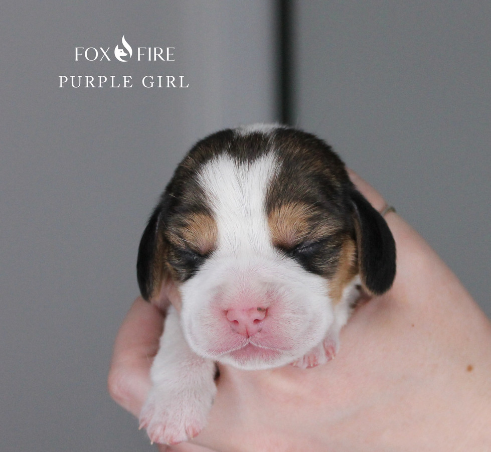 week old Female Beagle Puppy