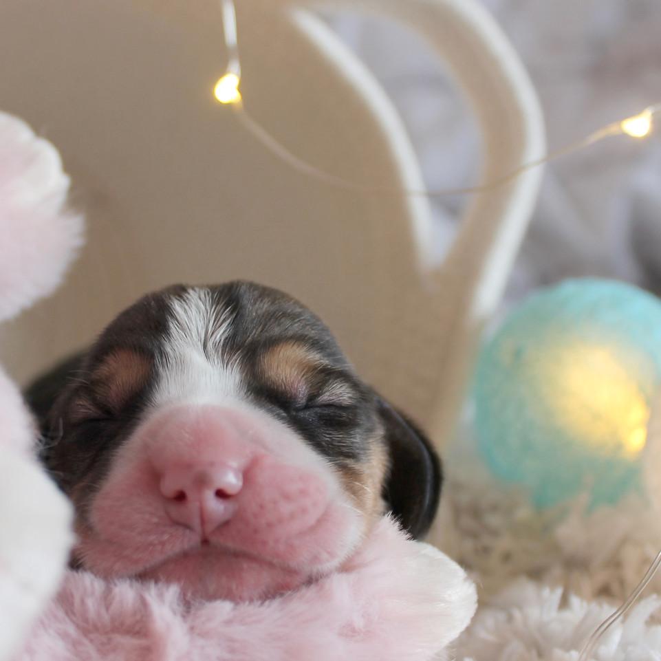Small Male Beagle Puppy