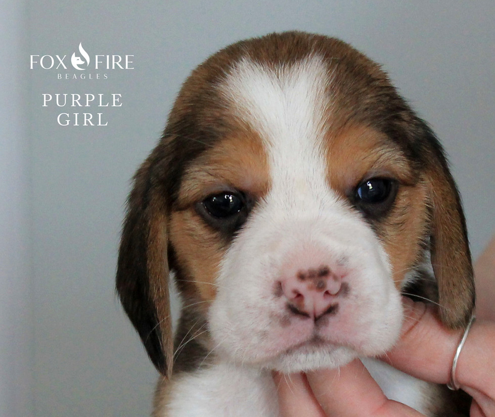 4 week old Female Beagle Puppy