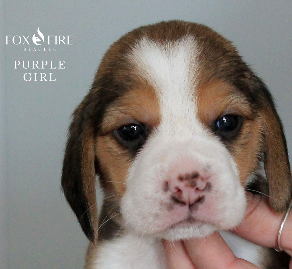 4 week old Female Beagle Puppy