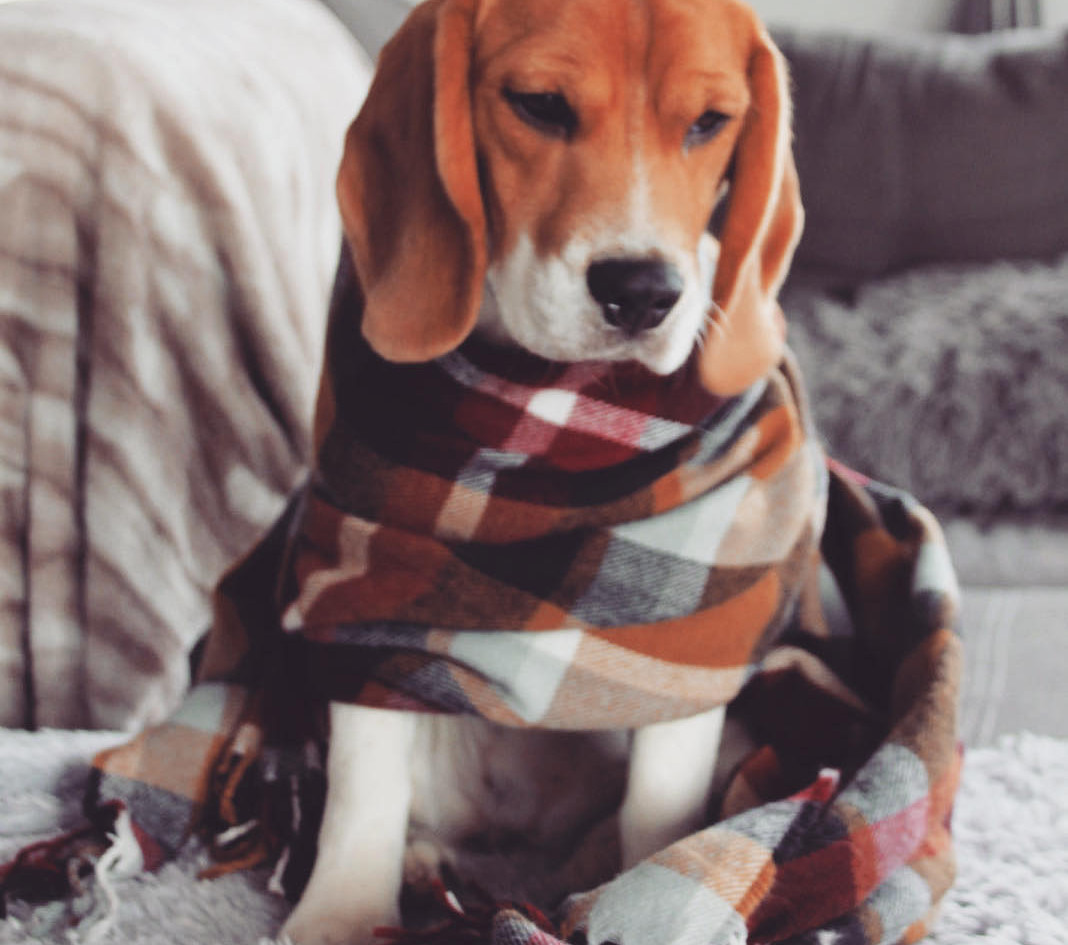 Female Beagle in a scarf