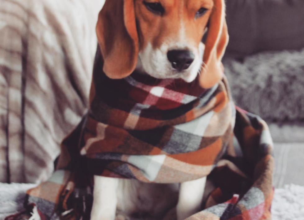 Female Beagle in a scarf