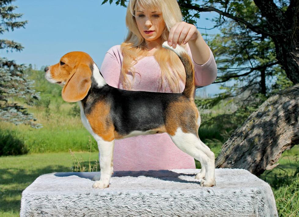 Stacked Beagle