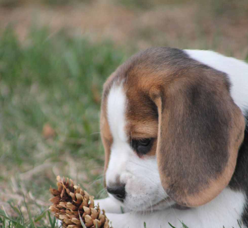 Beagle Puppy and Pinecone
