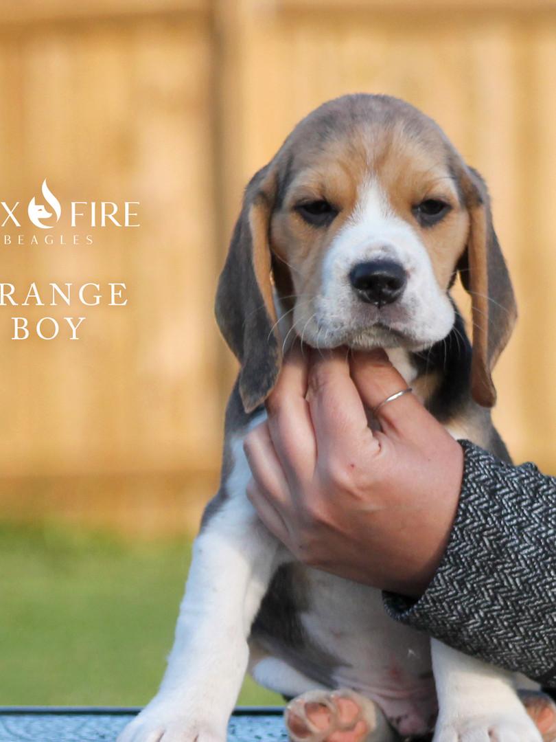 7 Week Old Orange Boy