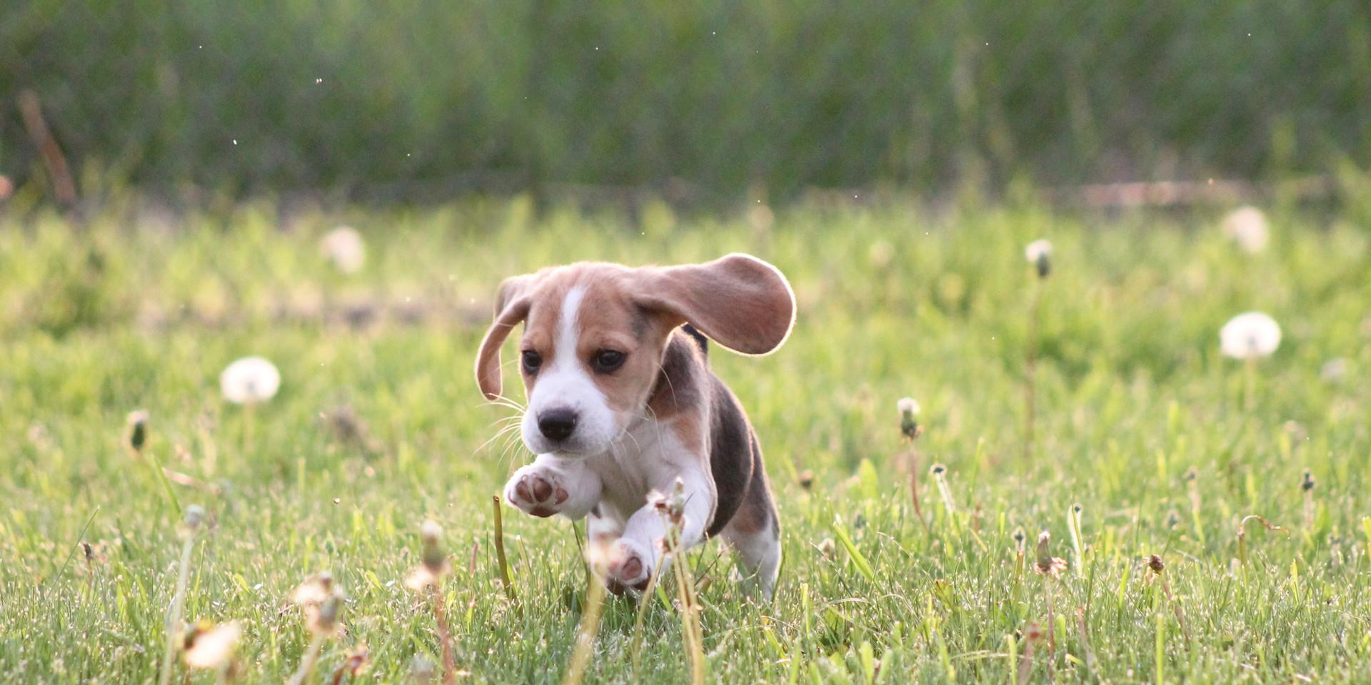 Foxfire Beagle Puppies