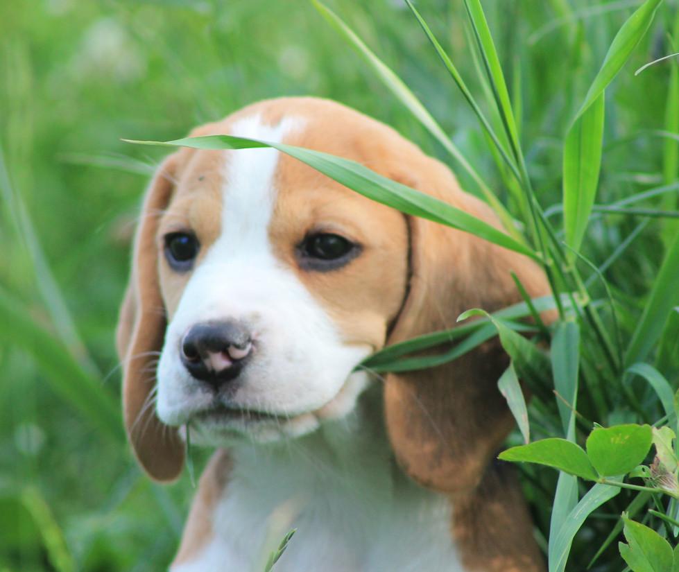 Beagle puppy in grass