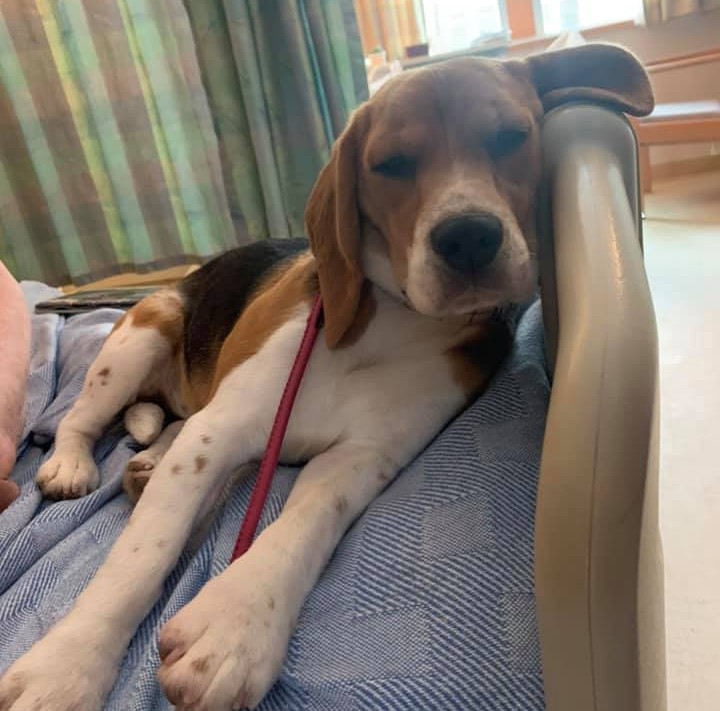 Female therapy Beagle