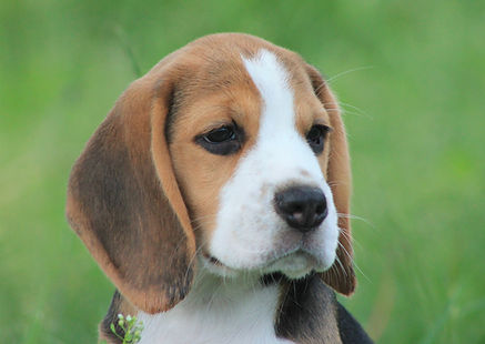 Young Male Beagle Pup