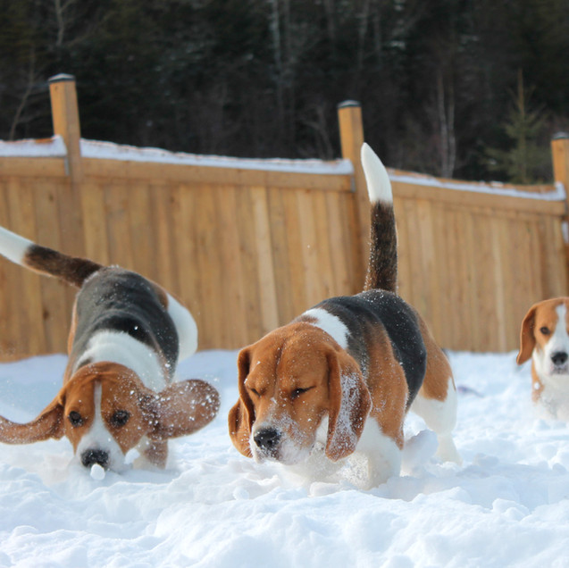3 Beagles in Snow