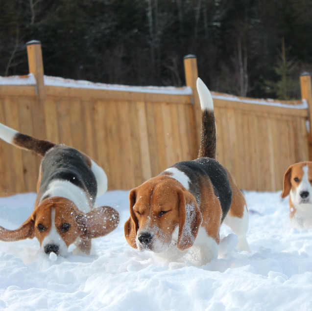 3 Beagles in Snow